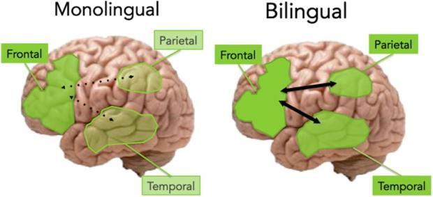 monolingual_vs-_bilingual_aging_brain